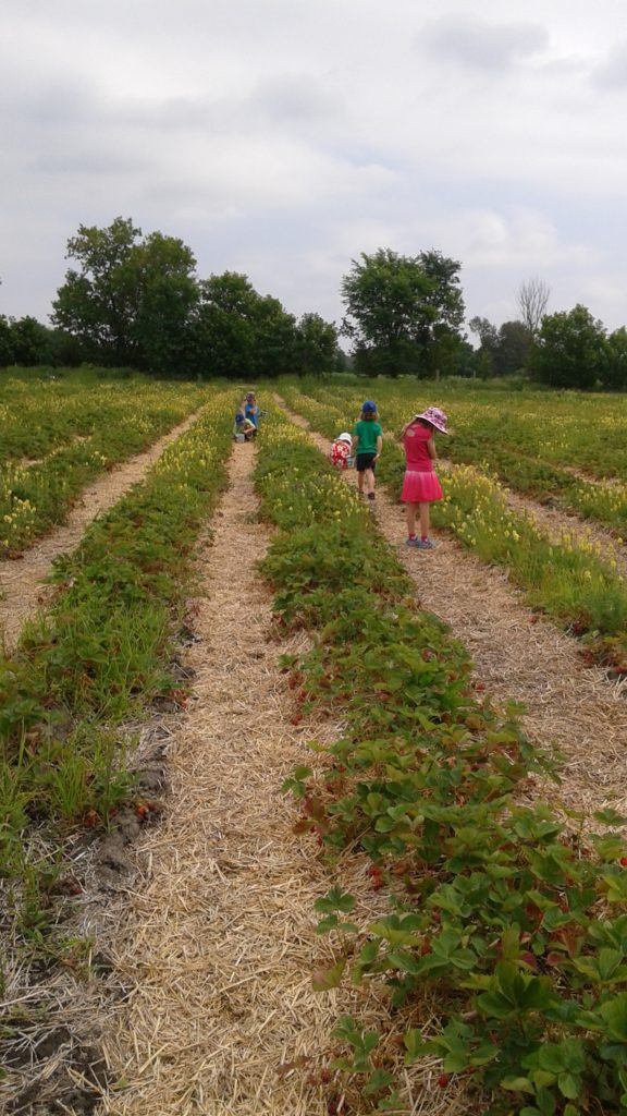 3. Stawberry Picking